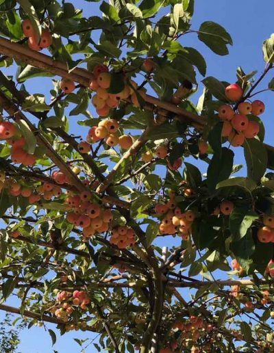 laurel-hill-garden-design-leith-way-malus-summer