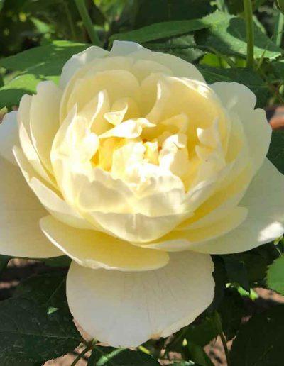 laurel-hill-garden-design-leith-way-rosa-Vanessa-Bell-close-up