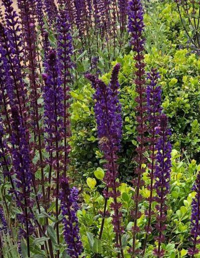 laurel-hill-garden-design-salvia-and-buxus