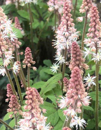 laurel-hill-garden-design-tiarella
