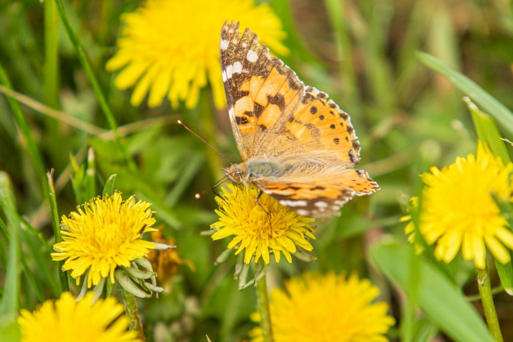 laurel-hill-garden-design-a-burdock-butterfly-from-the-family-nymphalidae-sits-on-a-flower-of-a-yellow-dandelion-in-woolen-grass