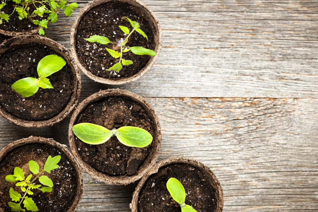 laurel-hill-gardens-seedlings-growing-in-peat-moss-pots